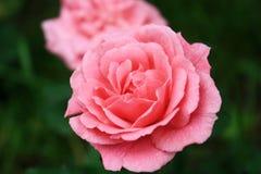 Розовые розы - цветки Стоковые Изображения