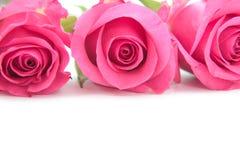розовые розы Стоковые Фото