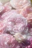 Розовые розы. Стоковое Изображение RF