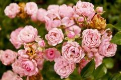 Розовые розы стоковое фото