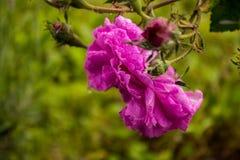 розовые розы Стоковые Изображения RF
