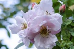 Розовые розы 2 Стоковые Изображения