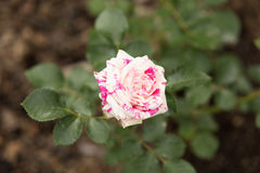 розовые розы Стоковые Фотографии RF