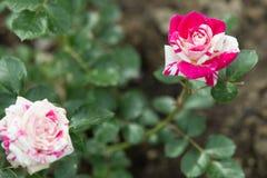 розовые розы Стоковое Изображение