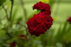 Розовые розы ` s Стоковые Изображения RF