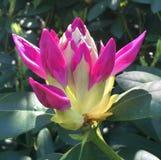 розовые рододендроны Стоковая Фотография RF