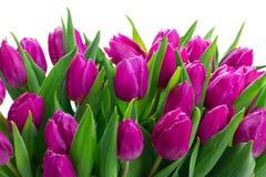 Розовые свежие тюльпаны стоковая фотография rf