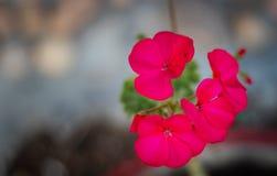 Розовые съемки крупного плана цветка стоковые фото
