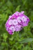Розовые сладостные цветки Вильяма в саде Цветок barbatus гвоздики зацветая весной, лето и осень Дизайн ландшафта сада Стоковое Фото