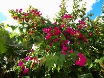 розовые тропические цветки на кусте против голубого неба стоковые изображения rf