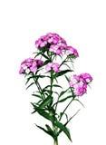 Розовые турецкие изолированные цветки гвоздики Стоковая Фотография RF