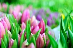 Розовые тюльпаны, Амстердам, Голландия Стоковое Изображение