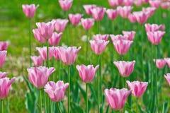 Розовые тюльпаны в поле Стоковое Изображение