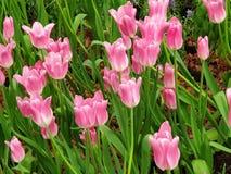Розовые тюльпаны полное цветение Очень красивый в саде стоковое фото