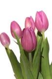 розовые тюльпаны Стоковое Изображение