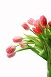 розовые тюльпаны стоковые фото