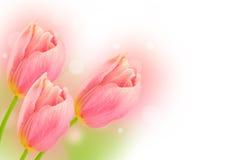 Розовые тюльпаны бесплатная иллюстрация