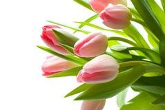 розовые тюльпаны Стоковое Фото