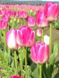 розовые тюльпаны Стоковая Фотография