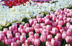 розовые тюльпаны белые Стоковые Фото