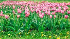 Розовые тюльпаны в поле Стоковое Фото
