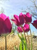 Розовые тюльпаны в природе Стоковое Изображение