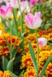 Розовые тюльпаны в саде Стоковое фото RF