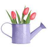 Розовые тюльпаны в фиолетовой моча чонсервной банке стоковые изображения