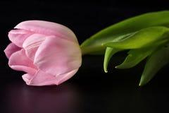 Розовые тюльпаны на черноте Стоковая Фотография
