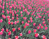 Розовые тюльпаны на flowerbed прогулка весны пущи дня слободская Стоковые Фото