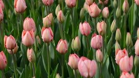 Розовые тюльпаны пошатывая в ветре сток-видео