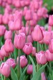 Розовые тюльпаны сад Стоковое Изображение RF
