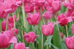 Розовые тюльпаны сад Стоковое фото RF