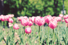 розовые тюльпаны Стоковые Фотографии RF