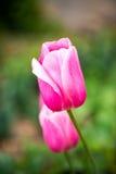 розовые тюльпаны Стоковое Изображение RF