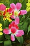 розовые тюльпаны стоковое фото rf