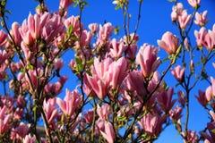 Розовые, фиолетовые цветки ветви магнолии Стоковое фото RF