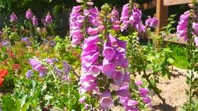 Розовые, фиолетовые цветки пошатывая на ветерке акции видеоматериалы