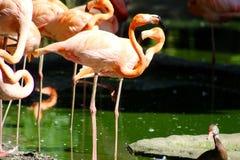 Розовые фламингоы Стоковые Изображения RF