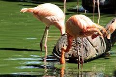 Розовые фламингоы Стоковое Изображение RF