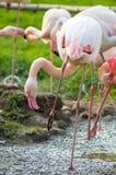 Розовые фламингоы   Стоковое фото RF