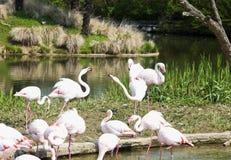 Розовые фламинго в воде Стоковые Изображения RF