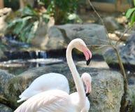 Розовые фламинго в естественной среде обитания Стоковая Фотография RF