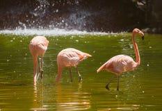 Розовые фламинго в пруде Стоковое Изображение