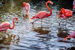 Розовые фламинго и белый Ibis в Орландо, Флориде стоковые фотографии rf