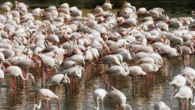 Розовые фламинго на озере сток-видео