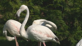 Розовые фламингоы видеоматериал