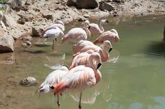 Розовые фламингоы Стоковая Фотография
