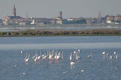 Розовые фламингоы Стоковые Изображения