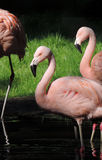 Розовые фламинго в солнце Стоковые Изображения